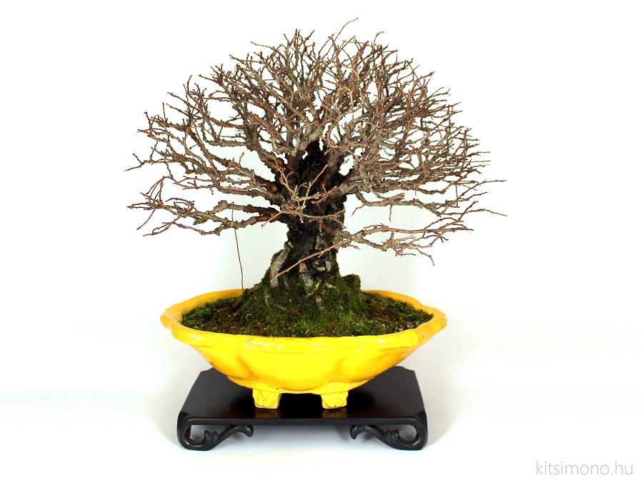 ulmus parvifolia corticosa paras torzsu kinai szil corkbark cork bark shohin bonsai kitsimono bonsaj tal bonsaital