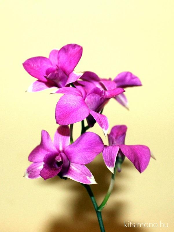 dendrobium phalaenopsis orchidea kusamono kitsimono (1)