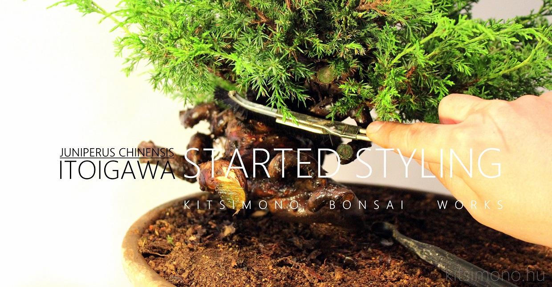 juniperus chinensis itoigawa pre bonsai prebonsai restyling alakitas ujraalakitas kitsimono workshop hungary